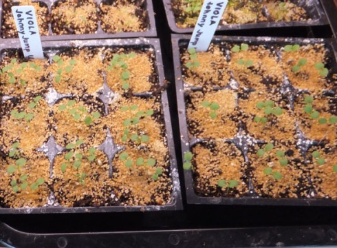 Viola tricolor seedlings